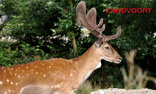 You can see the deer everywhere in Zandvoort - Your Host and Guide www.yourhostandguide.nl